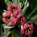 Native shrub flowers - Pittosporum tenuifolium by maureenpp
