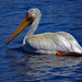 Pelican migrating through Regina, Saskatchewan