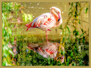 1st Oct 2018 - Flamingo And Reflection