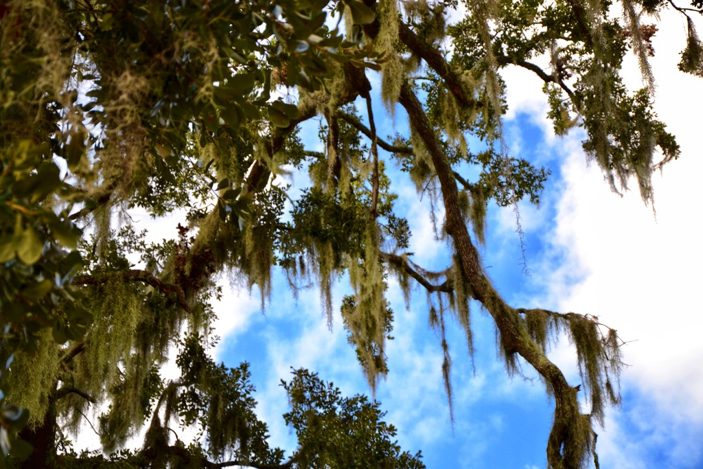 You know you're in the South when Spanish Moss hangs from the trees by louannwarren