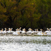 pelicans- by samae