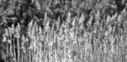 2nd Oct 2018 - Silvery reeds