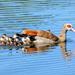 Egyptian Goose Mum by ludwigsdiana