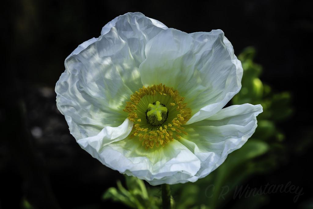 White Poppy by kipper1951