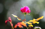 2nd Oct 2018 - Rose