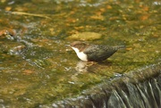 2nd Oct 2018 - White throated dipper...........