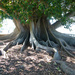 Moreton Bay Fig Roots in Colour
