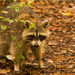 Rocky Raccoon, Was Out and About! by rickster549