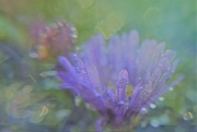 3rd Oct 2018 - Asters bokeh.......
