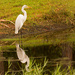 Reflective Egret! by rickster549