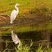 Reflective Egret! by rickster549