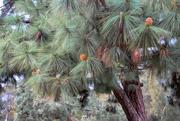 4th Oct 2018 - Pine cones