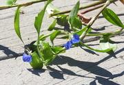 3rd Oct 2018 - Who planted spiderwort under my deck?