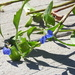 Who planted spiderwort under my deck?