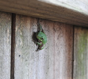 3rd Oct 2018 - Fence Frog?