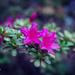 pretty azalea by ulla