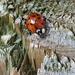 Ladybird Ladybird....