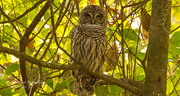 4th Oct 2018 - The Barred Owl Came Back!