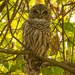 The Barred Owl Came Back! by rickster549