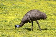 5th Oct 2018 - A golden emu!