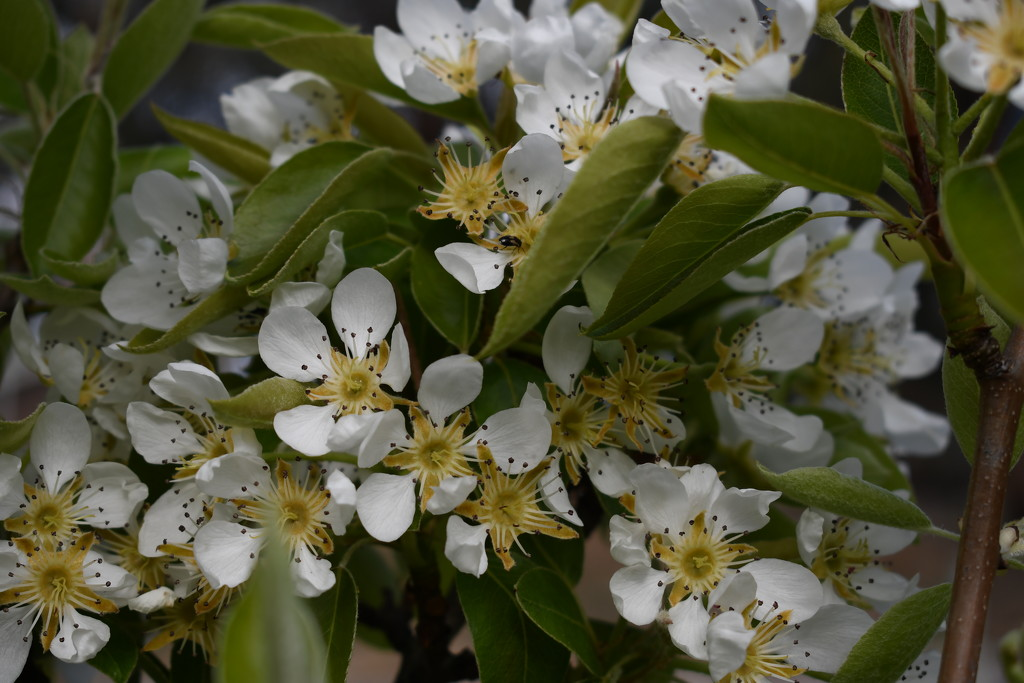 Blossoms on our Apple Tree by kgolab