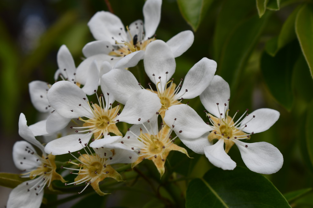 Fruit Tree Blossoms by kgolab