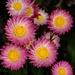 Western Australian wildflowers by maureenpp