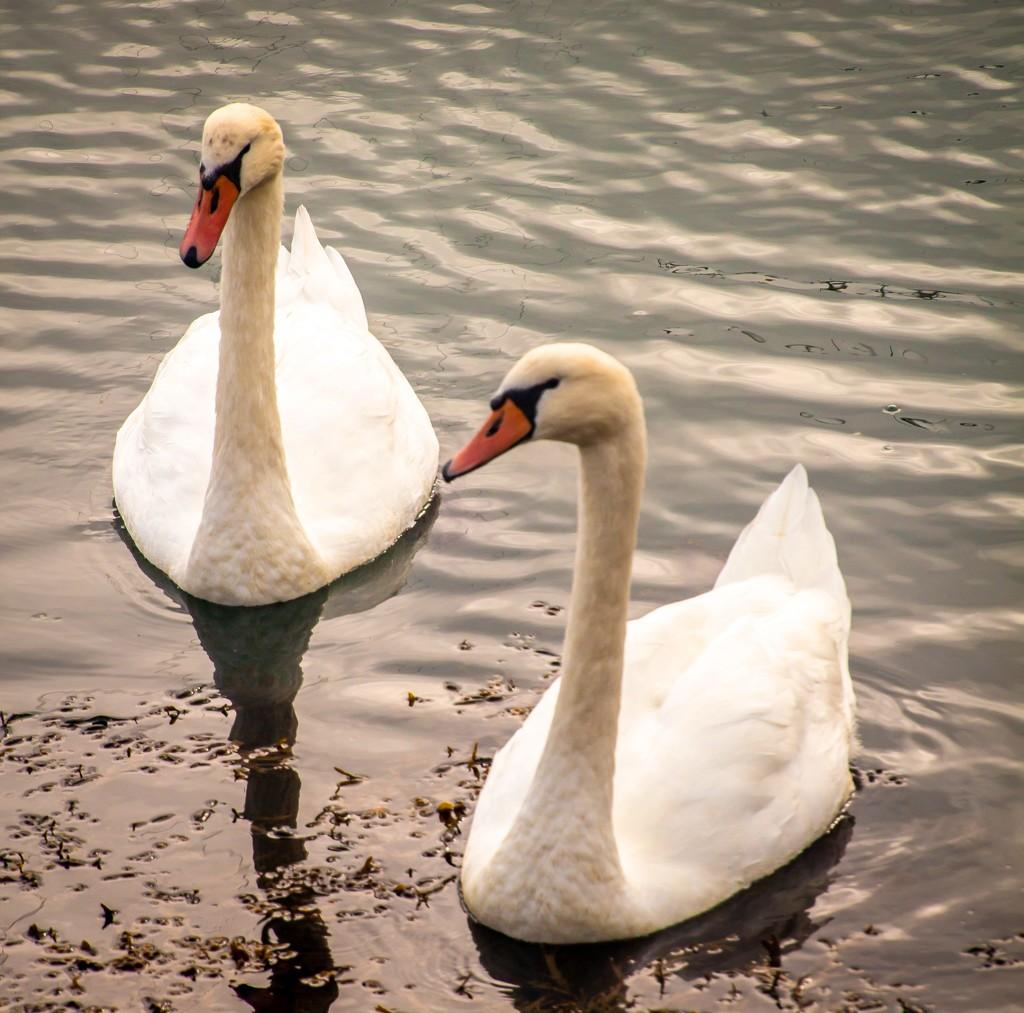 Swans by swillinbillyflynn