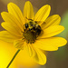 Bee and Cone Flower! by rickster549