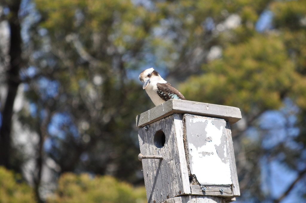 Kookaburra atop the bird house watching over the Chickens by kgolab