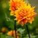 Bright Pumpkin Coloured Dahlias by gq