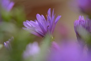 6th Oct 2018 - Asters......