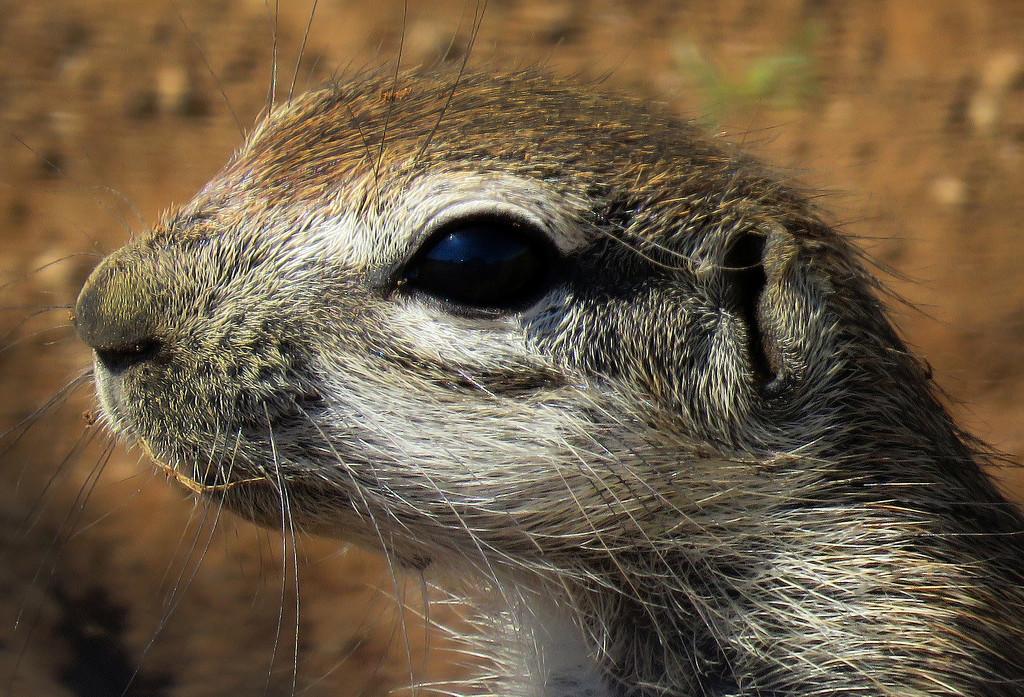 meerkat by sdutoit