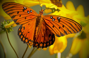 6th Oct 2018 - Gulf Fritillary Butterfly on the Cone Flowers!