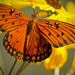 Gulf Fritillary Butterfly on the Cone Flowers! by rickster549