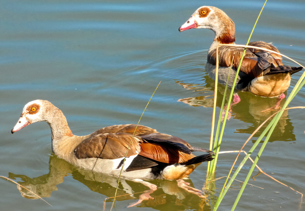 Egyptian Geese parents by ludwigsdiana