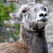 Mountain Goat by stefneyhart