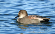 7th Oct 2018 - Wigeon Duck