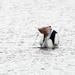 Pelican fishing by maureenpp