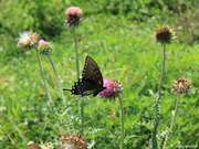 16th Jul 2018 - Butterfly among the thistle [Filler]