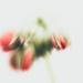 geranium velvet