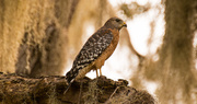 7th Oct 2018 - Red Shouldered Hawk in the Moss!