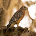 Red Shouldered Hawk in the Moss!