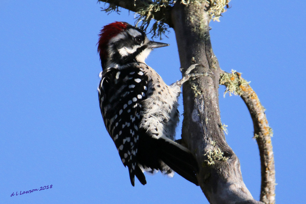 Woody Woodpecker by flygirl