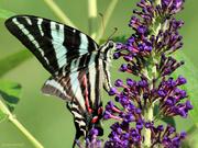 18th Jul 2018 - Zebra Swallowtail