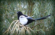 8th Oct 2018 - One For Sorrow.