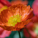 Orange Poppy by yorkshirekiwi