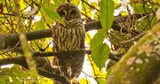 8th Oct 2018 - Barred Owl Again!