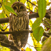 Barred Owl Again!