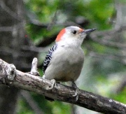 8th Oct 2018 - Red bellied woodpecker
